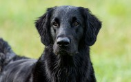 Flat-coated-retriever_001
