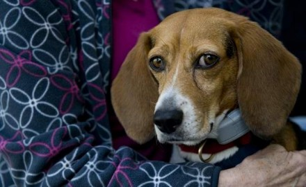 The stress of life can get to anyone.  That's true even for a New Jersey beagle named Brandi that