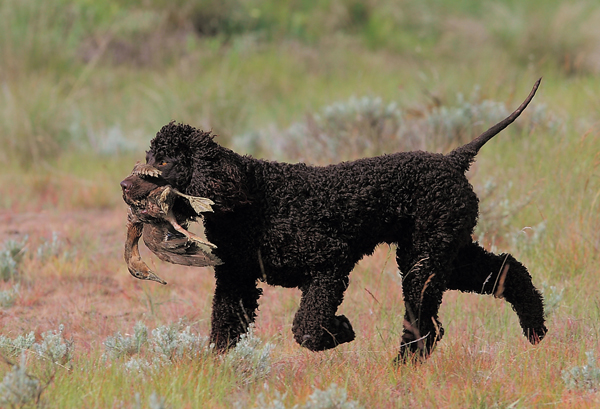 American Water Spaniel Price Goldenacresdogs Com