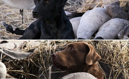 Kyle Wintersteen does a dog breed comparison on Chessies and Labs. See how these two breeds stack up.