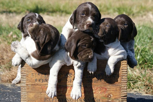 GUN DOG's Favorite Reader Puppy Photos