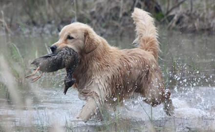 Golden-Retriever_001