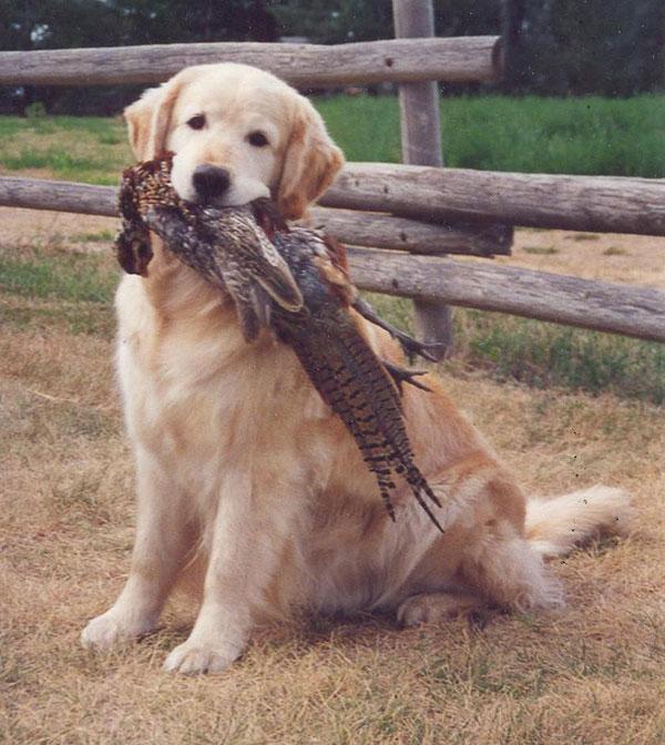 Breed Profile: The Golden Retriever - Gun Dog Magazine