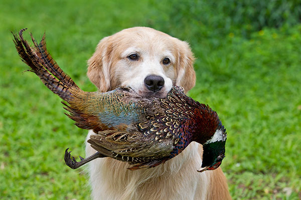 Golden-Retriever_003