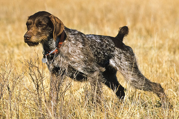 German-Wirehaired-Pointer_001