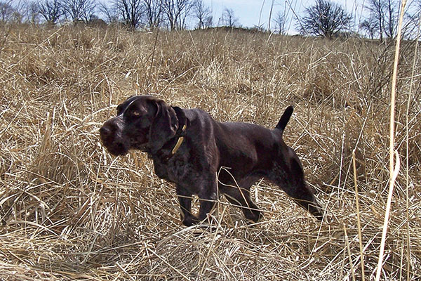 German-Wirehaired-Pointer_002