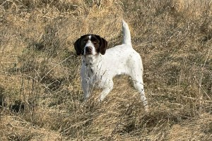 German-Wirehaired-Pointer_003