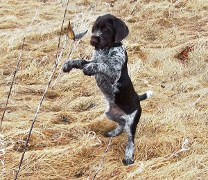 German-Wirehaired-Pointer_004