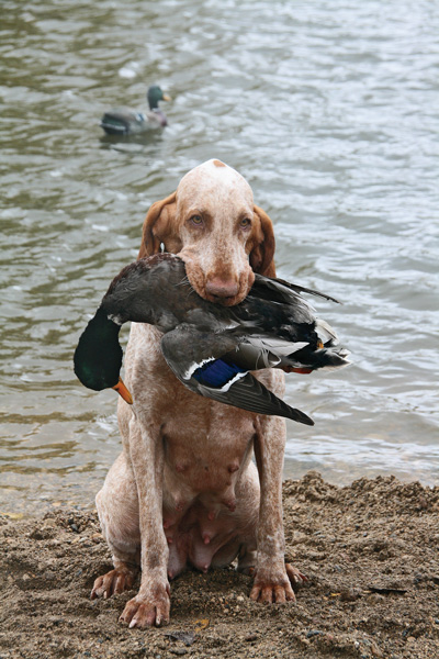 five bracco italiano dogs - photo #1