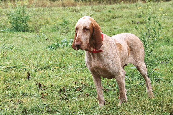 Breed Profile Bracco Italiano