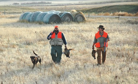 Retrievers are one of American pheasant hunters' most popular companions. In pheasant country, I