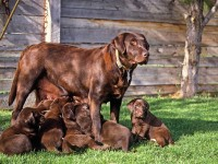weaning_puppies_F