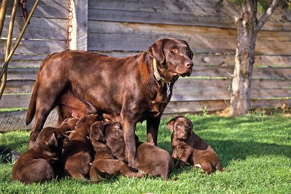 GUN DOG QA How To Properly Wean Puppies