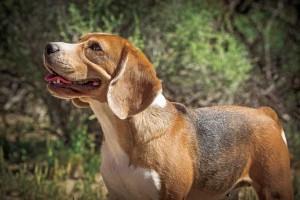 beagles_f