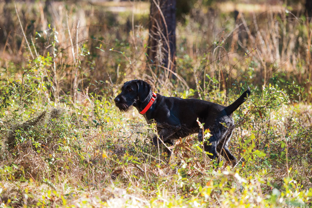 Why You Should Consider German Breeds for Your Next Gun Dog