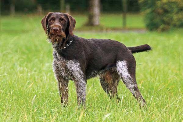 Deer hunting dog breeds - photo#14