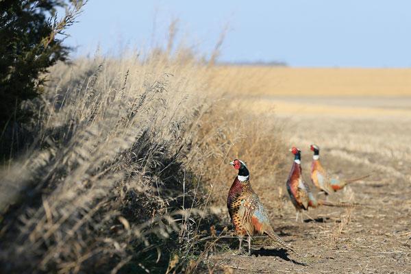 quail_pheas_forecast_2