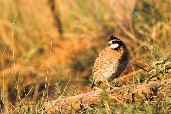 quail_pheas_forecast_7