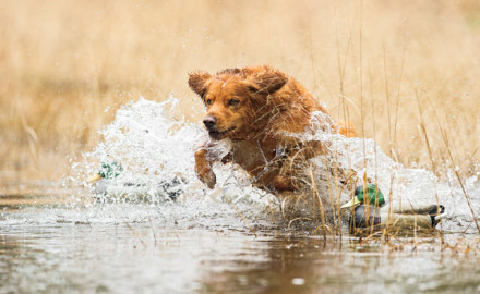 The origin of the Nova Scotia duck tolling retriever is muddled. The general consensus is they are