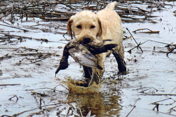 GUN DOG's Salute to Water Dogs