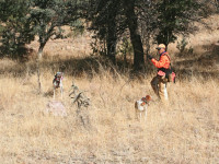 training_gun_dog_f