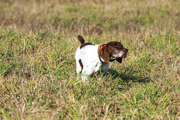What You Need to Know About Gun Dog Breed Registration