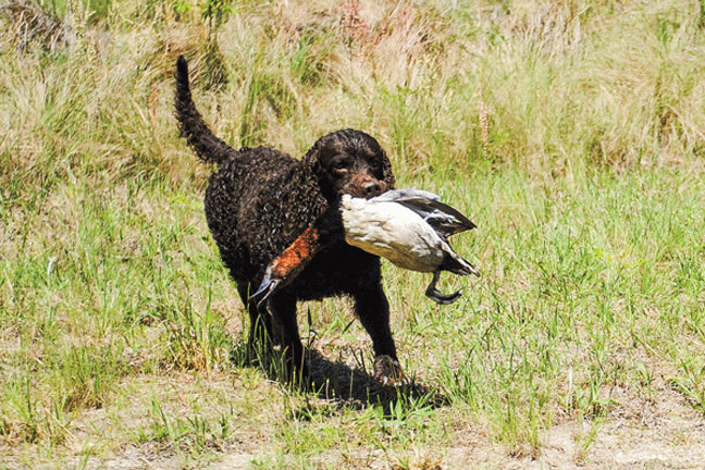 Increasing_prey_drive_in_hunting_dogs