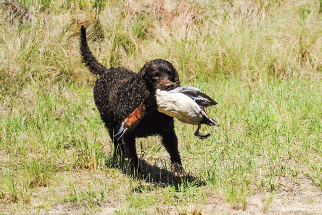 Increasing_prey_drive_in_hunting_dogs