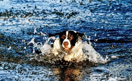 As a rule, retrievers love water and spaniels are no exception. Just try to walk an unleashed
