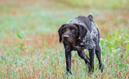 Like a meteorologist forecasting the weather, my German wirehaired pointer signaled an impending