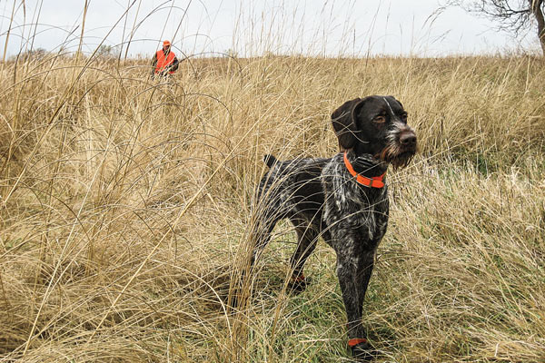 Bred to hunt, the Cesky Fousek ranges well and keeps a comfortable pace in the field. To find a Cesky, however, be prepared to spend some time researching litters because they aren't as readily available as more common sporting breeds.