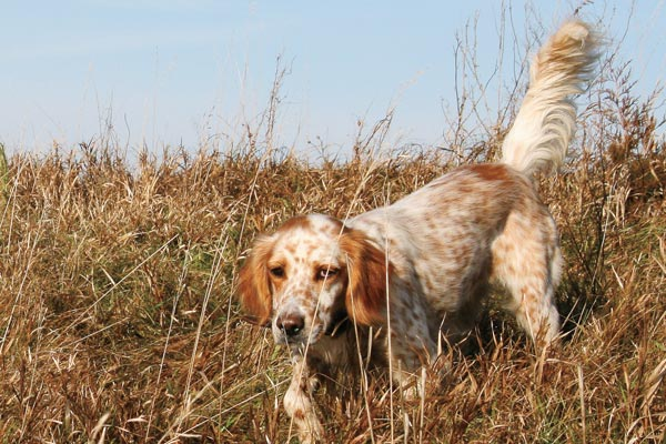 Breed Profile: The English Setter