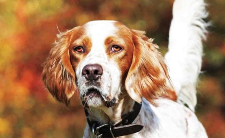 Get all the details on this beautiful breed of gun dog!