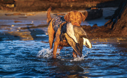 Chesapeakes are the only retriever breed still achieving the