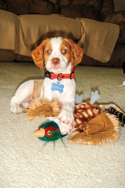 Brittany_Spaniel_puppies