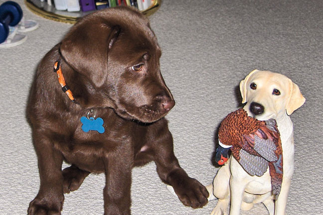 10 Puppies from GUN DOG Readers