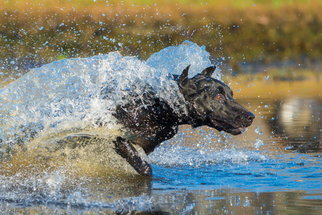 Dog training in water