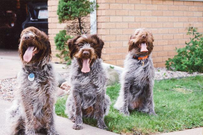 German_wirehaird_pointer_puppies