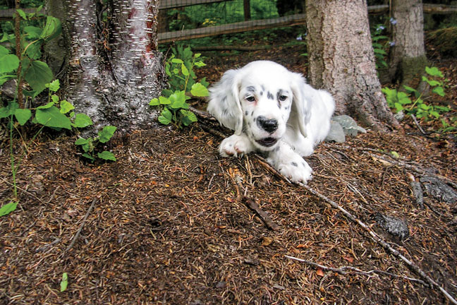 Llewellin_setter_puppies