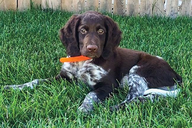 Munsterlander_puppies
