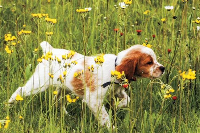 Spaniel_puppies