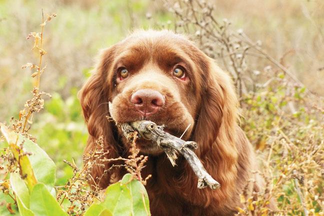 Sussex Spaniel training tips