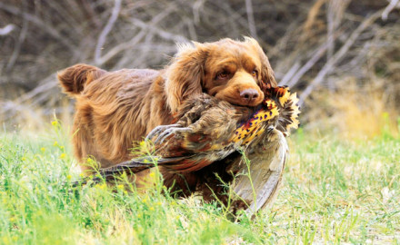 Sussex Spaniel breed