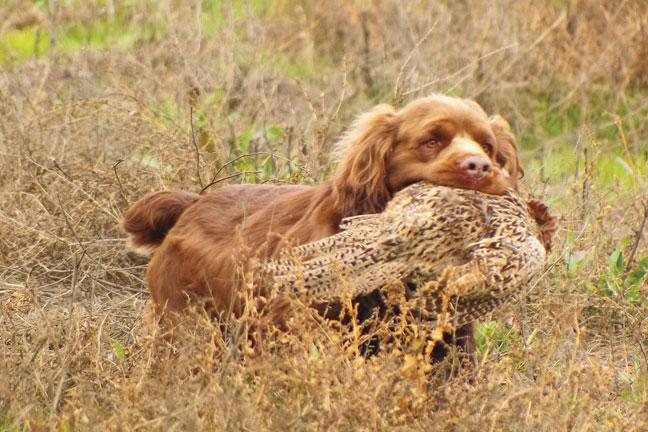Breed Profile Sussex Spaniel Gun Dog