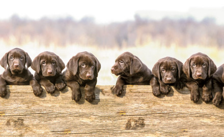 With the addition of four or more breeds to its registry in 2015, the American Kennel Club (AKC)