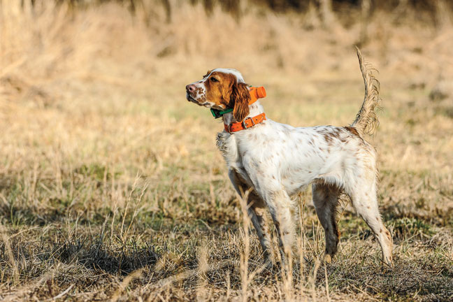 2016 E-Collars for Gun Dog's