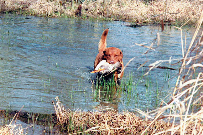 Show-Dogs-Training-for-Hunting