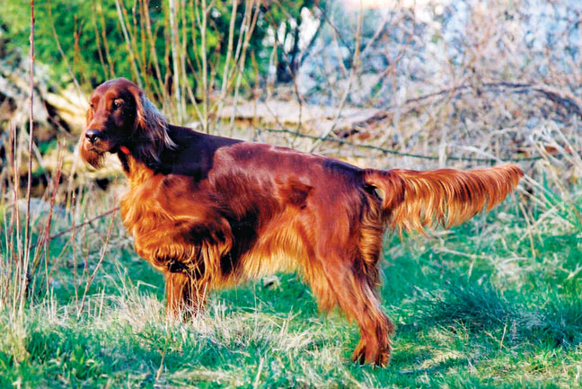 Hunting Dogs can be Show Dogs