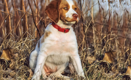 Problem: I have a 2-year-old Brittany, my first bird dog. He has an excellent disposition and