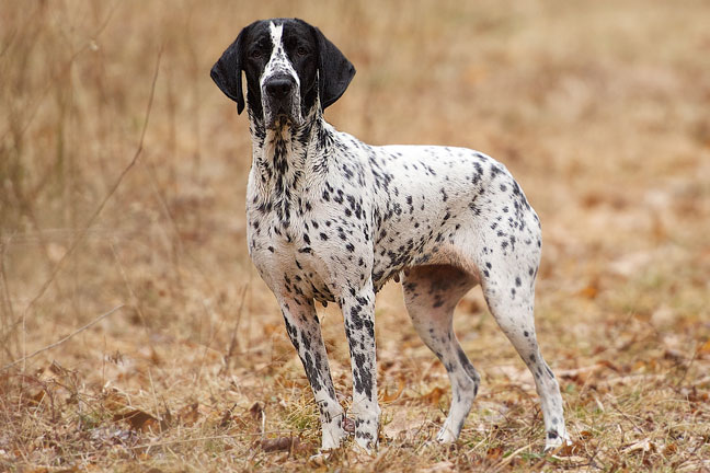 The Braque d'Auvergne breed profile